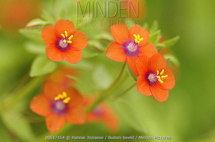 Pimpernel (Anagallis sp) flowers, Kamperland, Netherlands  -  Hannie Joziasse/ Buiten-beeld