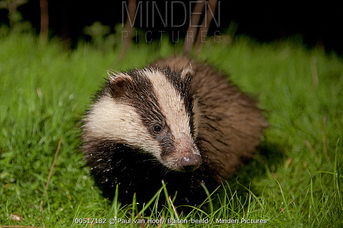 Eurasian Badger (Meles meles), England  -  Paul van Hoof/ Buiten-beeld