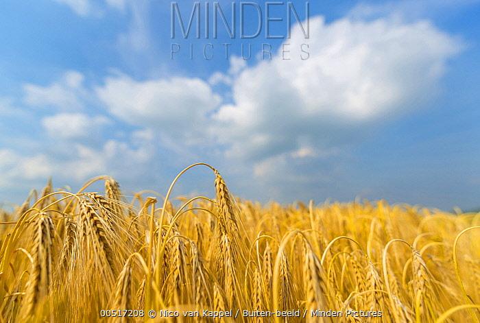Two-rowed Barley (Hordeum vulgare) field ripe for harvesting  -  Nico van Kappel/ Buiten-beeld