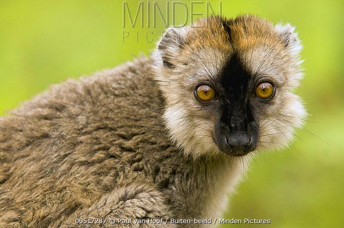 Red-fronted Brown Lemur (Eulemur fulvus rufus) portrait, Andasibe, Madagascar  -  Paul van Hoof/ Buiten-beeld
