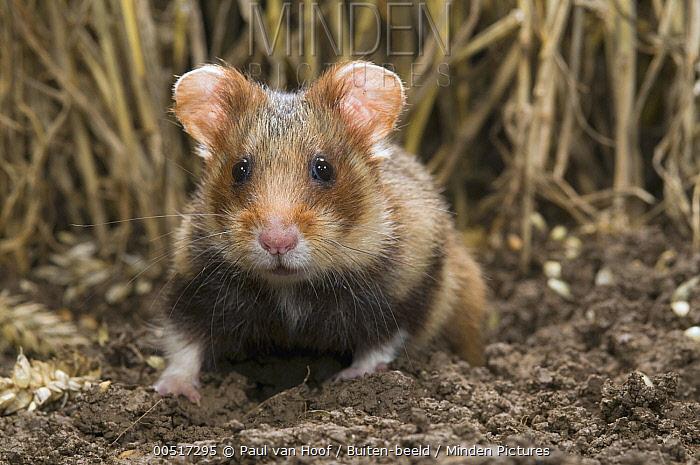 Common Hamster (Cricetus cricetus) in grain field, Netherlands  -  Paul van Hoof/ Buiten-beeld