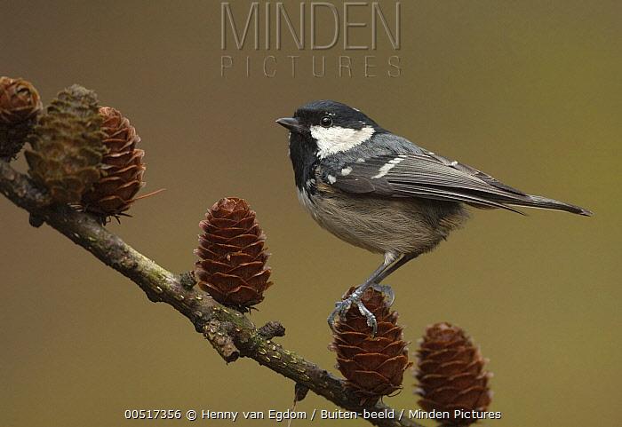 Coal Tit (Periparus ater) perching on pine cone, Utrecht, Netherlands  -  Henny van Egdom/ Buiten-beeld
