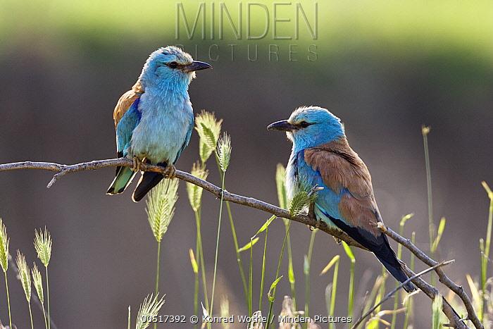 European Roller (Coracias garrulus) pair, Bulgaria  -  Konrad Wothe