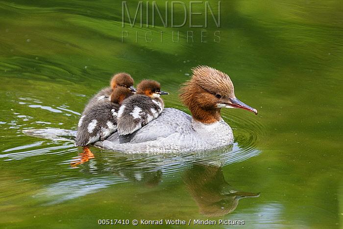 Common Merganser (Mergus merganser) mother carrying chicks on water, Upper Bavaria, Germany  -  Konrad Wothe