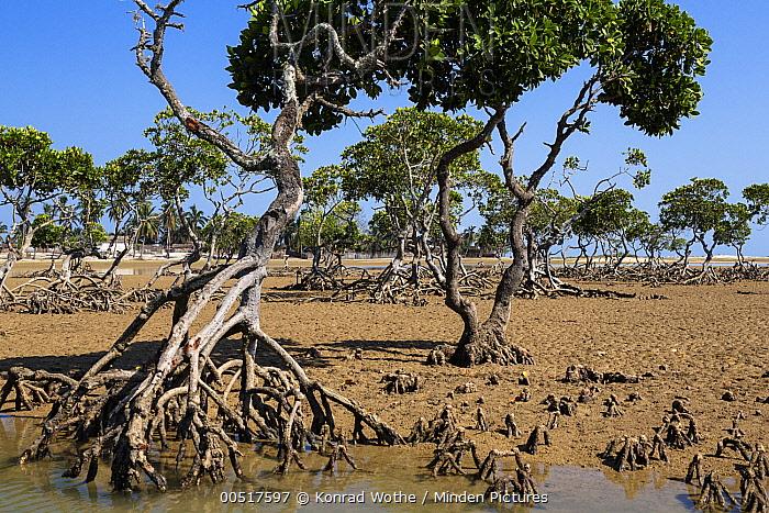Bakau Kurap (Rhizophora mucronata) at low tide, Morondava, Madagascar  -  Konrad Wothe