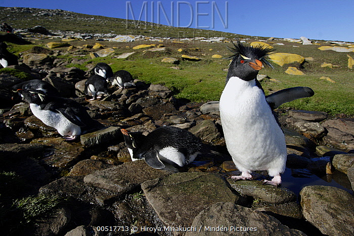 Southern Rockhopper Penguin (Eudyptes chrysocome) standing on rock in stream where colony is drinking, Falkland Islands  -  Hiroya Minakuchi