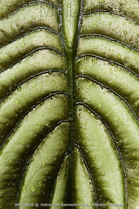 Taro (Alocasia cuprea) leaf, Tawau Hills Park, Sabah, Borneo, Malaysia  -  Sebastian Kennerknecht