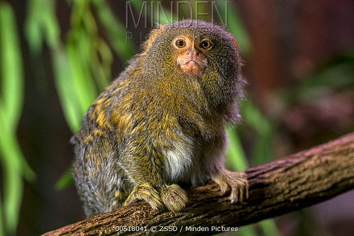 Pygmy Marmoset (Cebuella pygmaea), native to South America  -  ZSSD