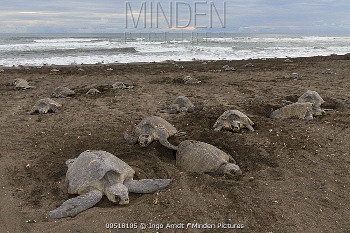 Olive Ridley Sea Turtle (Lepidochelys olivacea) females digging nests on beach in which to lay eggs, Ostional Beach, Costa Rica  -  Ingo Arndt