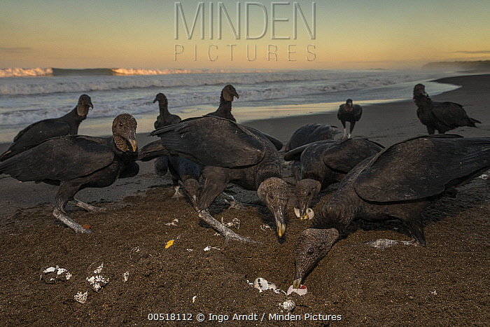 American Black Vulture (Coragyps atratus) group feeding on eggs in Olive Ridley Sea Turtle (Lepidochelys olivacea) nest, Ostional Beach, Costa Rica  -  Ingo Arndt