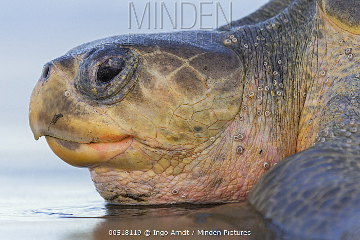 Olive Ridley Sea Turtle (Lepidochelys olivacea) female, Ostional Beach, Costa Rica  -  Ingo Arndt