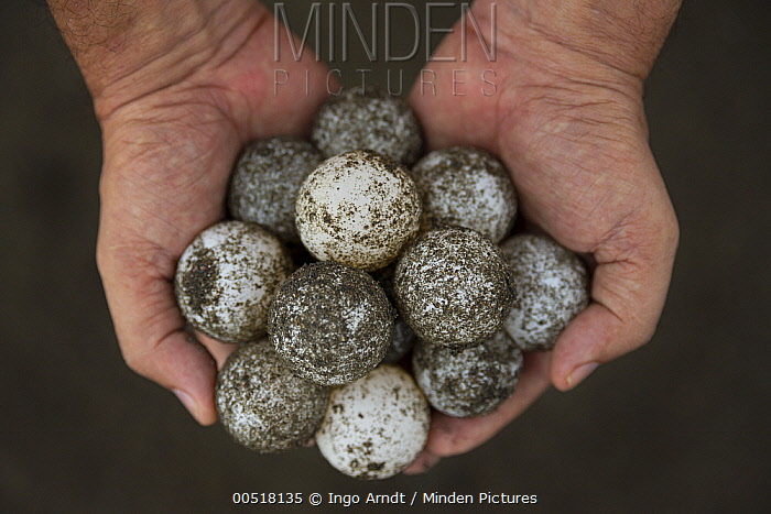 Olive Ridley Sea Turtle (Lepidochelys olivacea) eggs harvested by villagers with permission of conservation program designed to discourage poaching, Ostional Beach, Costa Rica  -  Ingo Arndt