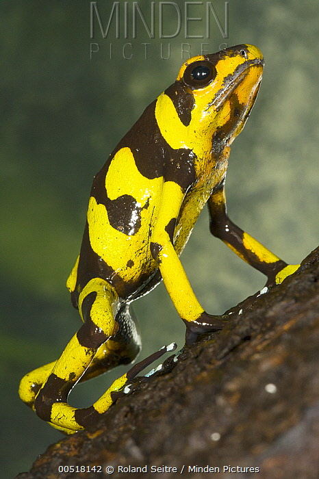Harlequin Poison Dart Frog (Dendrobates histrionicus) in defensive posture, native to South America  -  Roland Seitre