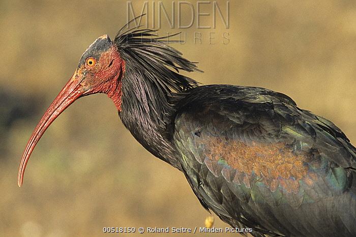 Waldrapp (Geronticus eremita), Spain  -  Roland Seitre