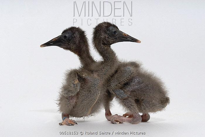 Waldrapp (Geronticus eremita) seven day old chicks, Spain  -  Roland Seitre