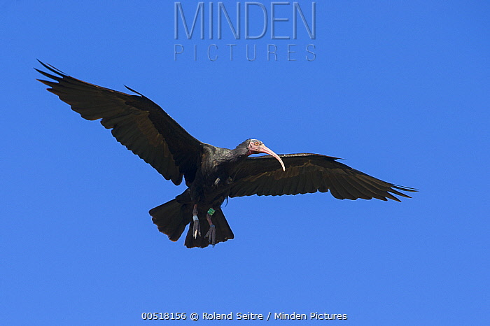 Waldrapp (Geronticus eremita) flying, Spain  -  Roland Seitre