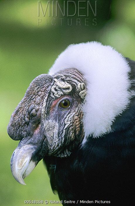 Andean Condor (Vultur gryphus), native to South America  -  Roland Seitre