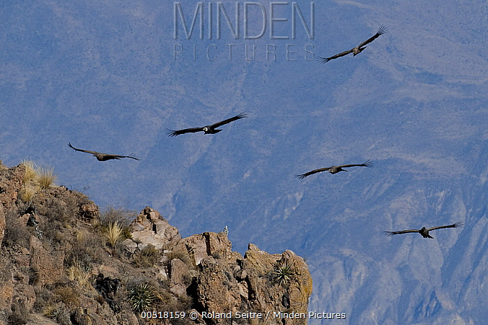 Andean Condor (Vultur gryphus) group flying, Arequipa, Peru  -  Roland Seitre