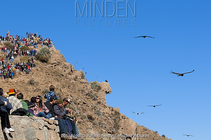 Andean Condor (Vultur gryphus) group flying near tourists, Arequipa, Peru  -  Roland Seitre