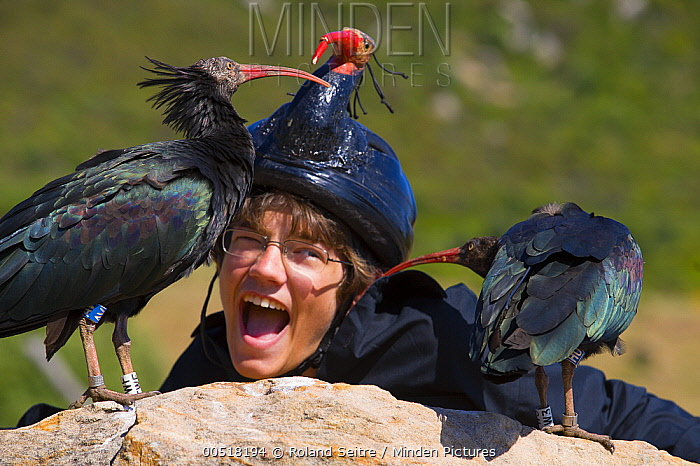 Waldrapp (Geronticus eremita) pair investigating biologist with disguise, Spain  -  Roland Seitre