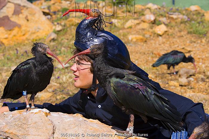 Waldrapp (Geronticus eremita) pair with biologist with disguise, Spain  -  Roland Seitre
