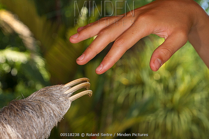 Hoffmann's Two-toed Sloth (Choloepus hoffmanni) hand next to human hand, Aviarios Sloth Sanctuary, Costa Rica  -  Roland Seitre