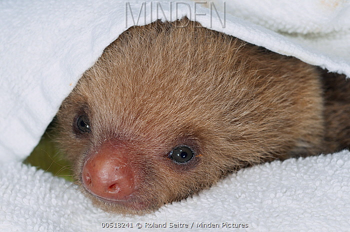 Hoffmann's Two-toed Sloth (Choloepus hoffmanni) orphan covered by towel, Aviarios Sloth Sanctuary, Costa Rica  -  Roland Seitre