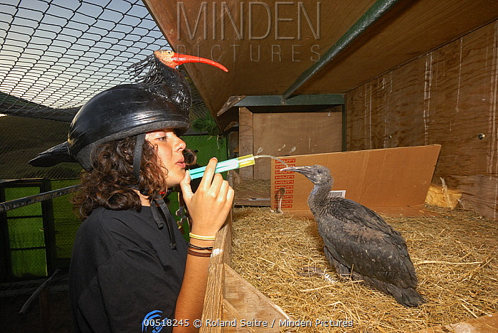 Waldrapp (Geronticus eremita) one month old chick being fed by biologist wearing disguise, Spain  -  Roland Seitre