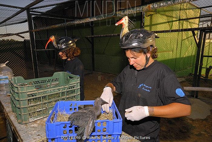 Waldrapp (Geronticus eremita) biologists wearing disguises tending to chicks, Spain  -  Roland Seitre