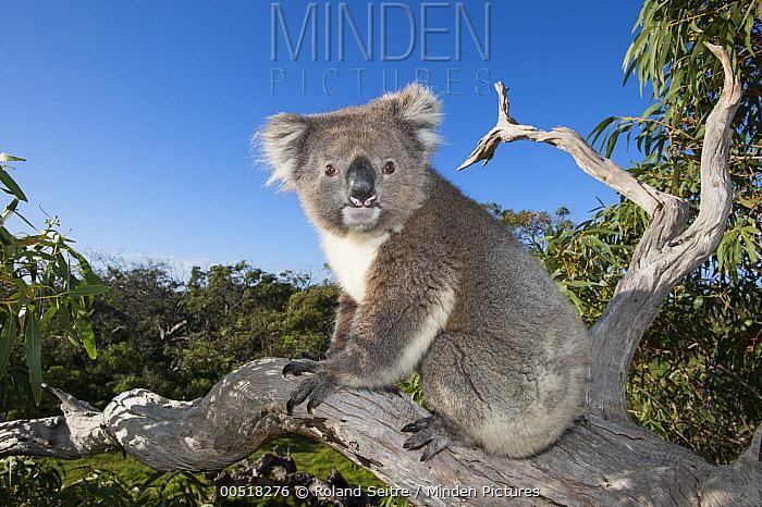 Koala (Phascolarctos cinereus) in tree, Port Lincoln, South Australia, Australia  -  Roland Seitre