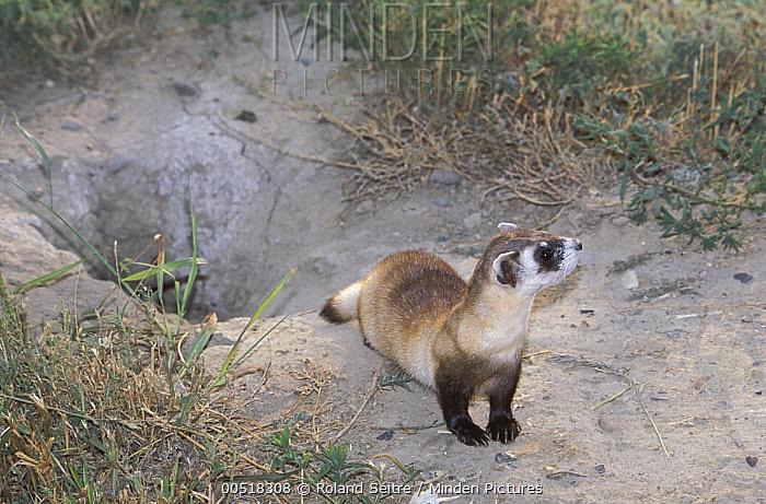 Black-footed Ferret (Mustela nigripes) near burrow, native to North America  -  Roland Seitre
