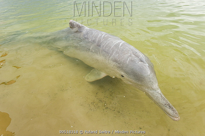 Indo-Pacific Humpbacked Dolphin (Sousa chinensis) in shallow water, Australia  -  Roland Seitre
