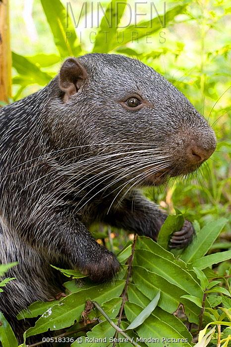 Branick's Giant Rat (Dinomys branickii) feeding on vegetation, native to South America  -  Roland Seitre