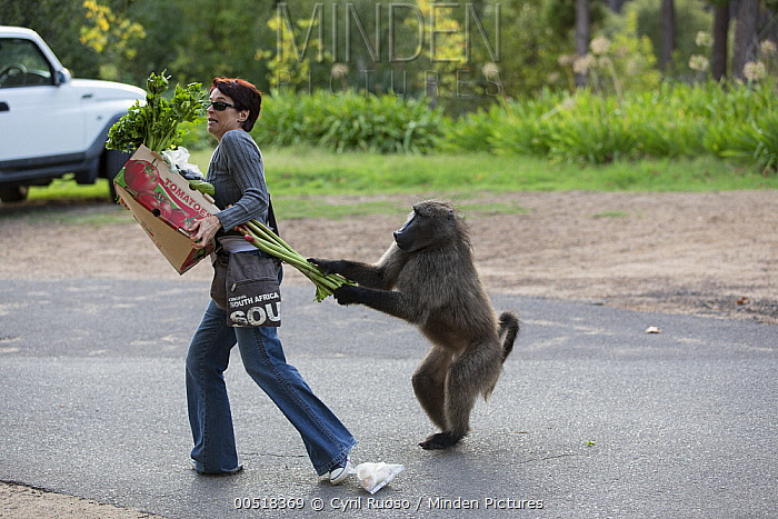 Chacma Baboon (Papio ursinus) stealing rhubarb from shopper, Cape Town, South Africa. Sequence 2 of 6  -  Cyril Ruoso