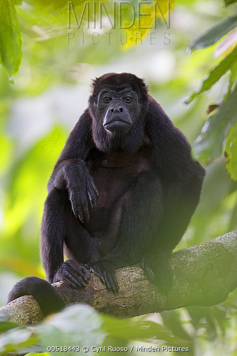 Mantled Howler Monkey (Alouatta palliata), Barro Colorado Island, Panama  -  Cyril Ruoso