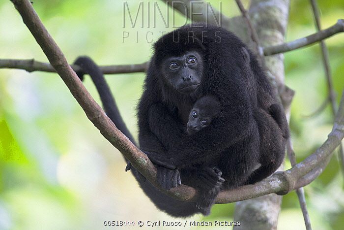 Mantled Howler Monkey (Alouatta palliata) mother and young, Barro Colorado Island, Panama  -  Cyril Ruoso