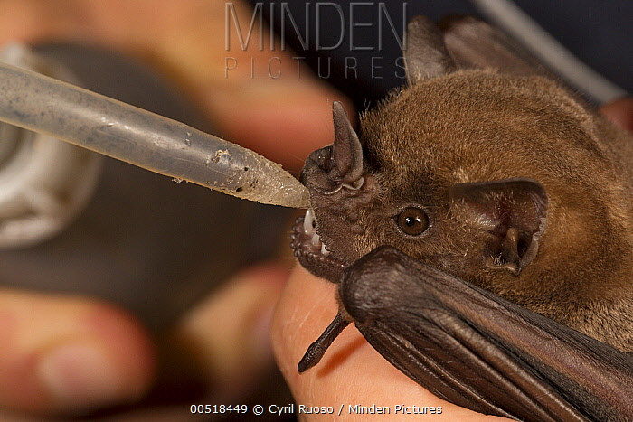 Greater Spear-nosed Bat (Phyllostomus hastatus) biologist feeding sugar water to juvenile before releasing it, Barro Colorado Island, Panama  -  Cyril Ruoso