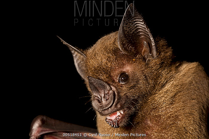 Greater Spear-nosed Bat (Phyllostomus hastatus) juvenile, Barro Colorado Island, Panama  -  Cyril Ruoso
