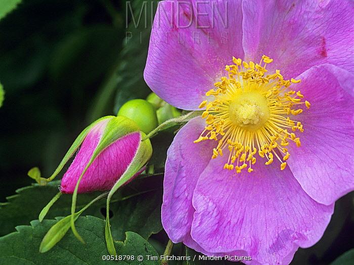Rose (Rosa sp) flower, British Columbia, Canada  -  Tim Fitzharris