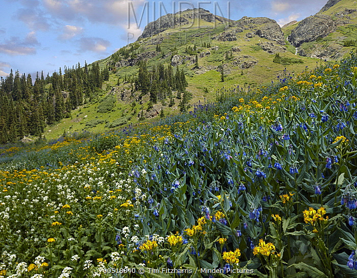 Mountain Bluebell (Mertensia ciliata) and Groundsel (Senecio sp) flowering on mountain, American Basin, Colorado  -  Tim Fitzharris