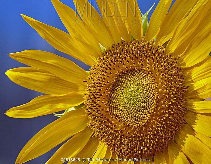 Common Sunflower (Helianthus annuus) flower, North America  -  Tim Fitzharris