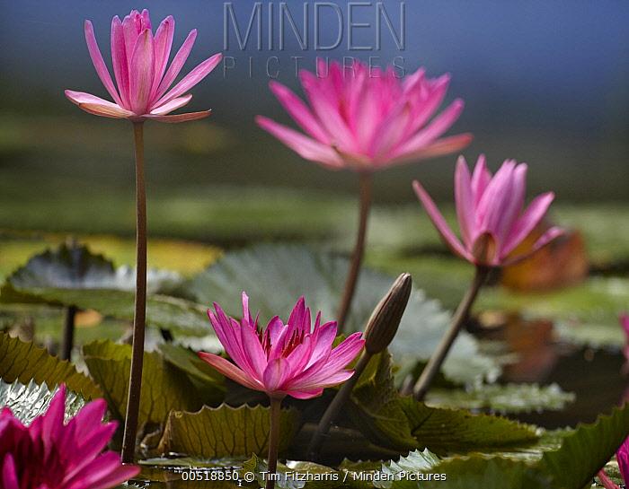 Water Lily (Nymphaea sp) flowers, Jurong Bird Park, Singapore  -  Tim Fitzharris