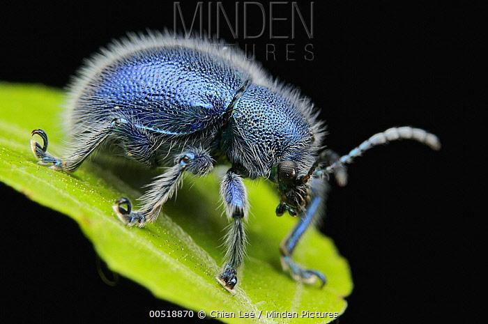 Leaf Beetle (Trichochrysea hirta) at night, Kubah National Park, Borneo, Malaysia  -  Ch'ien Lee