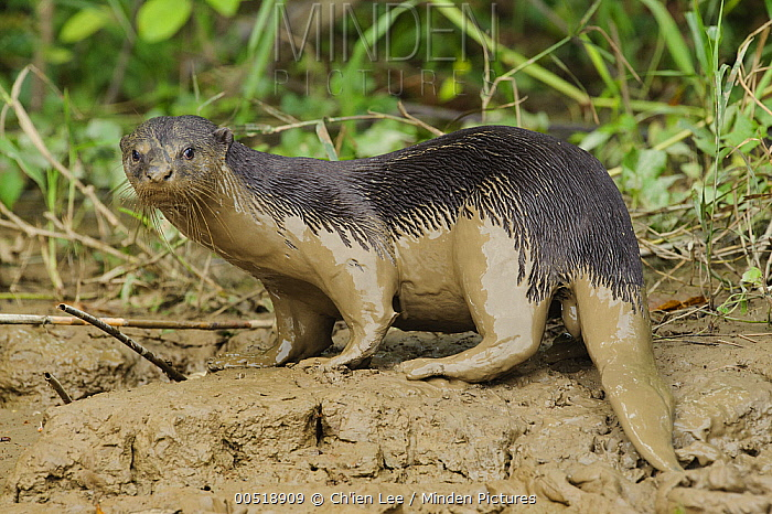 Indian Smooth-coated Otter (Lutrogale perspicillata) covered with mud, Kinabatangan Wildlife Sanctuary, Borneo, Malaysia  -  Ch'ien Lee