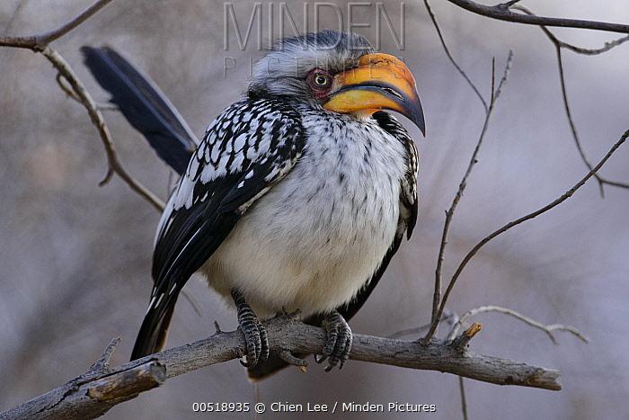 Southern Yellow-billed Hornbill (Tockus leucomelas), Khama Rhino Sanctuary, Botswana  -  Ch'ien Lee