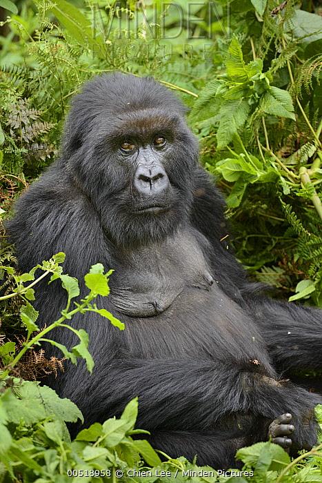 Mountain Gorilla (Gorilla gorilla beringei) female, Parc National des Volcans, Rwanda  -  Ch'ien Lee
