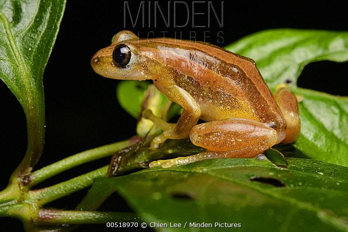 Reed Frog (Hyperoliidae), Kibale National Reserve, Uganda  -  Ch'ien Lee