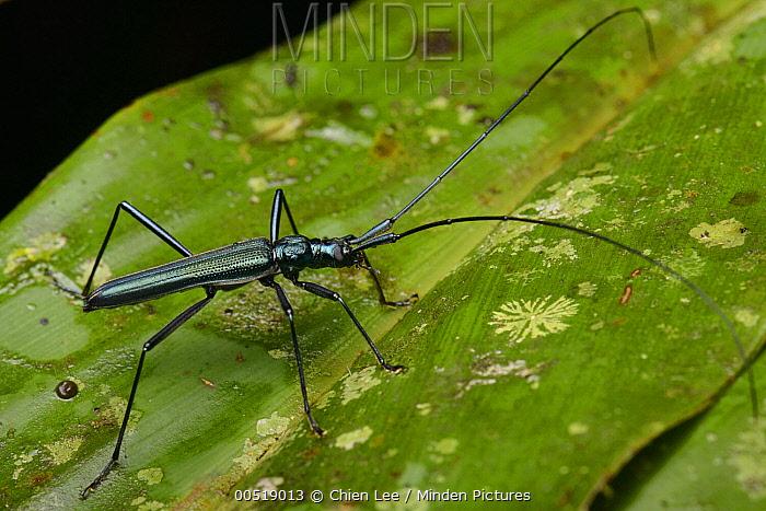 Longhorn Beetle (Typodryas chalybeata), Gunung Mulu National Park, Borneo, Malaysia  -  Ch'ien Lee