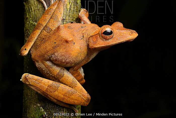Collett's Tree Frog (Polypedates colletti), Sama Jaya Nature Reserve, Kuching, Borneo, Malaysia  -  Ch'ien Lee
