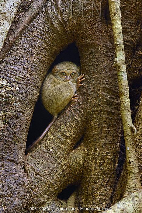 Spectral Tarsier (Tarsius tarsier) in tree, Tangkoko Nature Reserve, Indonesia  -  Ch'ien Lee